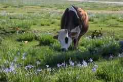 Mucca nel campo dei Wildflowers Fotografia Stock Libera da Diritti