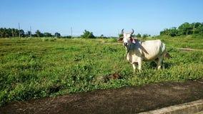 Mucca nel campo di erba, campagna Filippine Immagine Stock