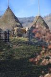 Mucca nel campo, la Transilvania, Romania Fotografia Stock Libera da Diritti