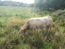 Mucca nel campo soleggiato immagini stock
