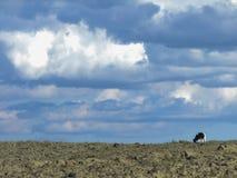 Mucca nel campo, sul pendio, sui precedenti del cielo e dei clo immagine stock libera da diritti