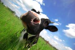 Mucca nel campo verde Fotografie Stock