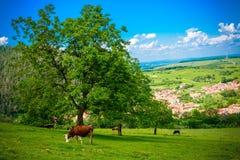 Mucca nel campo verde con gli alberi ed il cielo blu Fotografia Stock