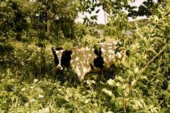 Mucca nel fogliame Immagine Stock
