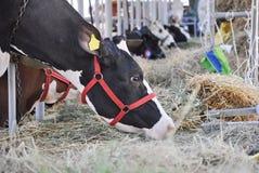 Mucca nel granaio Fotografia Stock Libera da Diritti