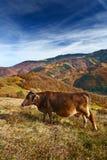 Mucca nel paesaggio alpino Immagini Stock Libere da Diritti