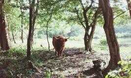 Mucca nel parco Fotografia Stock