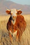 Mucca nel pascolo del deserto Fotografia Stock Libera da Diritti