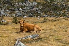 Mucca nel prato Immagini Stock Libere da Diritti