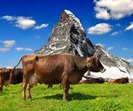 Mucca nel prato. Nei precedenti del Cervino Fotografia Stock Libera da Diritti