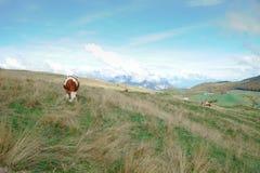 Mucca nel prato nelle montagne Fotografia Stock Libera da Diritti
