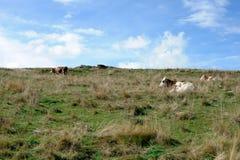 Mucca nel prato nelle montagne Fotografia Stock
