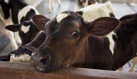Mucca nel telaio Immagine Stock Libera da Diritti