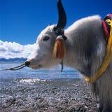 Mucca nel Tibet Fotografia Stock Libera da Diritti