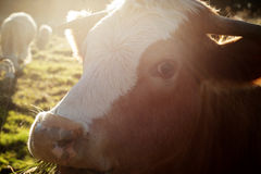 Mucca nel tramonto Immagini Stock Libere da Diritti