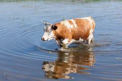 Mucca nell'acqua Immagini Stock