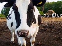 Mucca nell'azienda agricola Fotografia Stock