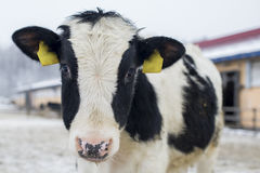 Mucca nell'azienda agricola di inverno fotografia stock