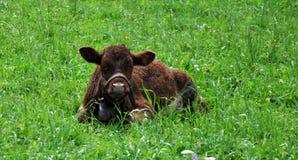 Mucca nell'erba Fotografie Stock Libere da Diritti