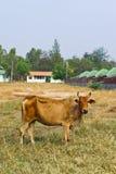 Mucca nella città Fotografia Stock