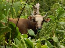 Mucca nella giungla Immagini Stock Libere da Diritti