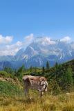 Mucca nella montagna Immagini Stock Libere da Diritti