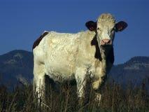 Mucca nella montagna Fotografie Stock