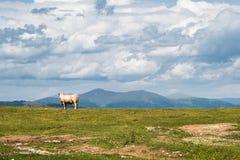 Mucca nella montagna Fotografie Stock Libere da Diritti