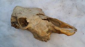 Mucca nella neve Fotografia Stock Libera da Diritti