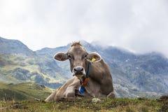Mucca nelle alpi Immagine Stock Libera da Diritti