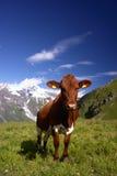Mucca nelle alpi Fotografia Stock Libera da Diritti