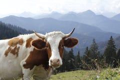 Mucca nelle alpi bavaresi Immagini Stock
