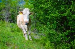 Mucca nelle montagne Fotografia Stock