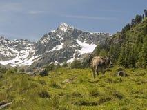 Mucca nelle montagne Fotografia Stock Libera da Diritti