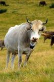 Mucca nelle montagne Fotografie Stock Libere da Diritti