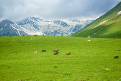 Mucca nelle montagne Fotografie Stock