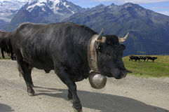 Mucca nera Fotografia Stock