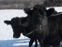 Mucca nera Immagine Stock Libera da Diritti