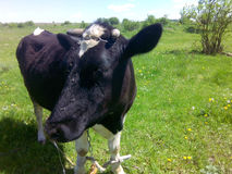 Mucca nera Immagini Stock Libere da Diritti