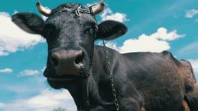 Mucca nera che pasce sul prato e che odora la macchina fotografica sul fondo del cielo Movimento lento archivi video