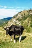 Mucca nera che sta in un prato Fotografia Stock