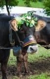 Mucca nera con la corona floreal durante l'evento folcloristico di Pinz immagini stock