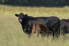 Mucca nera del Angus Fotografie Stock