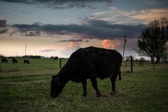 Mucca nera di Angus che pasce al crepuscolo Fotografia Stock