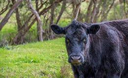 Mucca nera nel campo fotografie stock