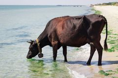 Mucca nera rossa dell'azienda agricola domestica assetata che cammina sull'acqua potabile della costa di mare immagini stock