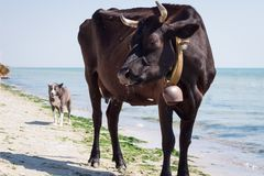 Mucca nera rossa dell'azienda agricola domestica assetata che cammina sulla linea costiera della spiaggia del mare fra la gente e fotografia stock libera da diritti