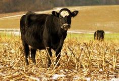 Mucca nera in un campo dell'azienda agricola Immagini Stock