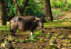 Mucca o Carabao sul pascolo della foresta Foto di viaggio di agricoltura dell'Asia Fotografia Stock Libera da Diritti