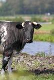 Mucca olandese Immagini Stock Libere da Diritti